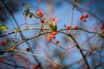 fotky-podzim-sipky-priroda-ptaci-01