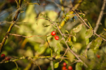 fotky-podzim-sipky-priroda-ptaci-02