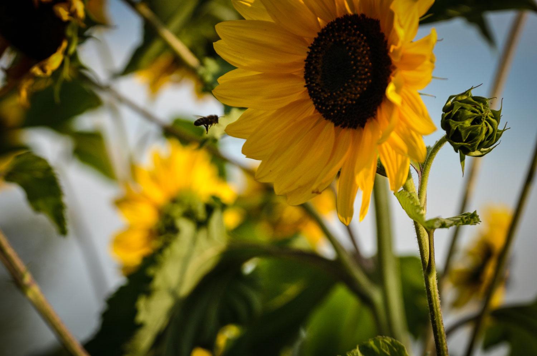 fotky-slunecnice-08