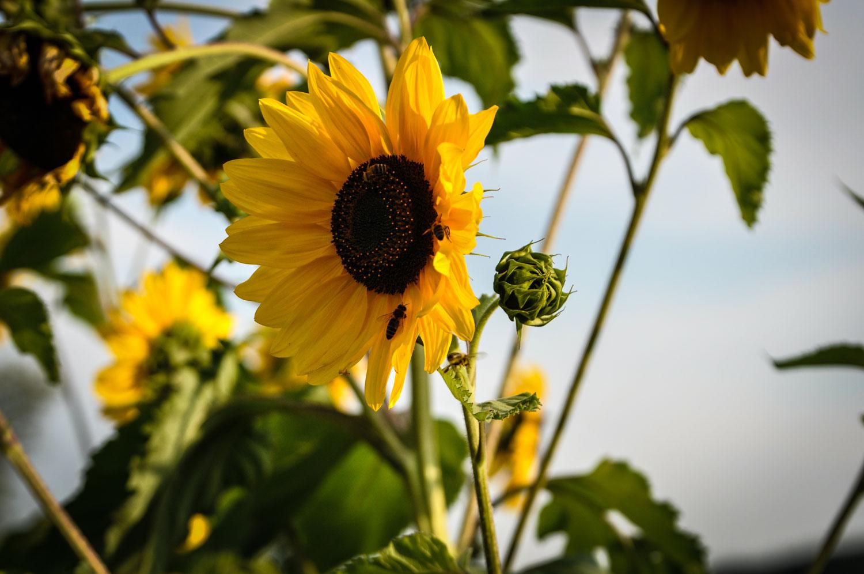 fotky-slunecnice-09