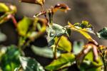 foto-priroda-rano-rosa-web-20180427-10