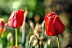 foto-priroda-rano-rosa-web-20180427-01